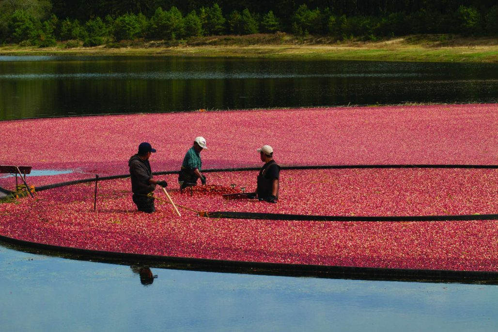 men in a cranberry bog