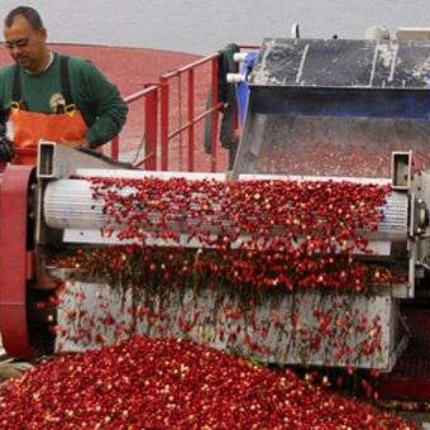 Cranberry Harvesting at A.D. Makepeace Company