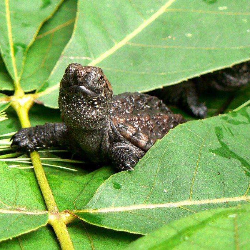 Mass Audubon turtle