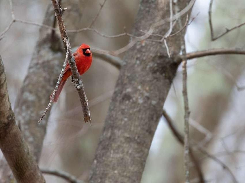 Mass Audubon cardinal