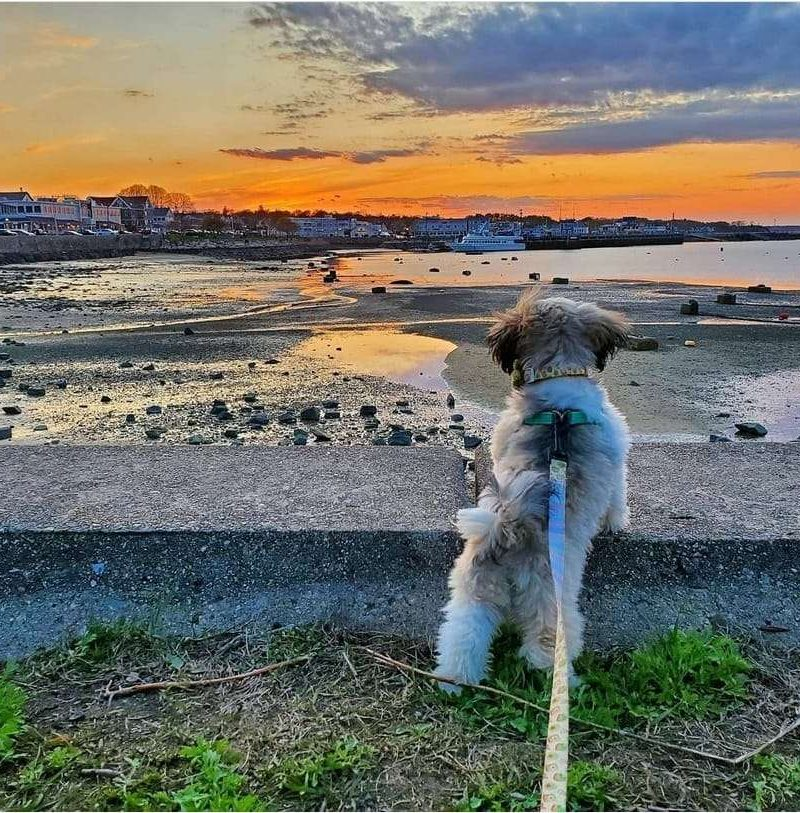 Dog Sunset in Plymouth